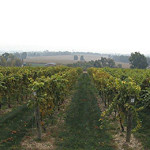 fall2013vineyard1